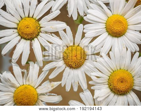 Field of daisies floating in the water. Chamomile, top view with small depth of field. Flowers with white petals and yellow pistils photographed closeup with soft focus on nature blurred background