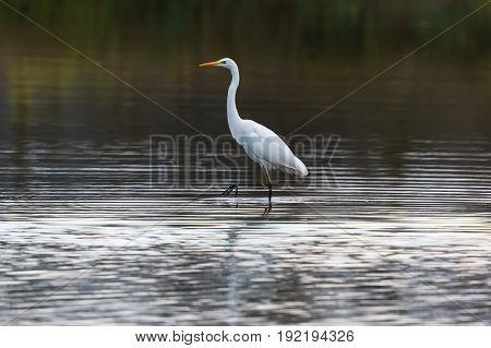 Great White Egret (egretta Alba) Walking And Wading In Water