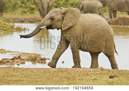 Young African elephant climbing out of a water hole after having a long drink