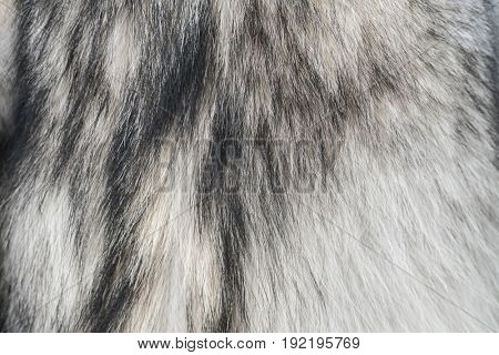 aaa Fur of wolf close up texture.