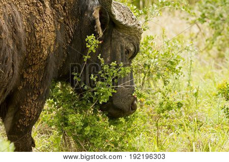 Old african buffalo covered in mud rubbing its head against a bush