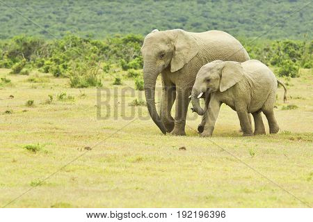 African elephant mother and young walking towards a water hole