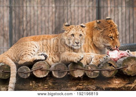 Lion and tiger cub and his hungry mother eating piece of meat in zoo