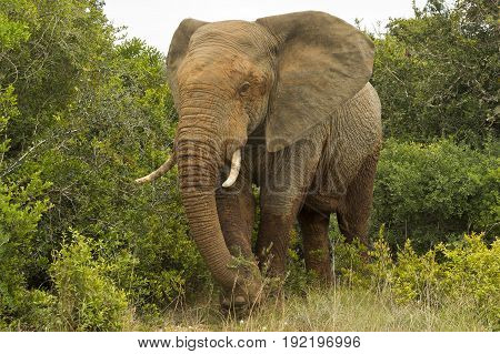 Huge African elephants covered in mud walking out of thick bush on a hot summers day