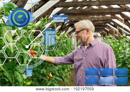 organic farming, agriculture and people concept - senior man or farmer growing tomatoes at greenhouse on farm