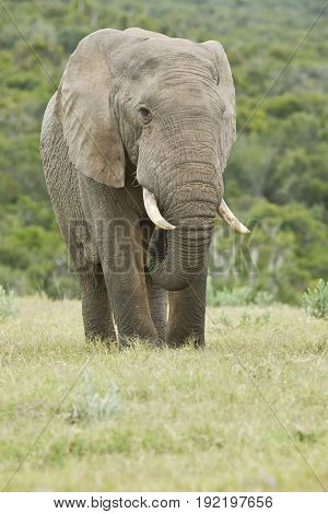 Huge aware African elephant standing in long grass and eating peacefully