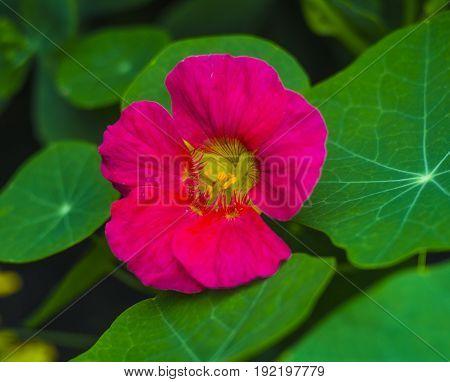 nasturtium. Nasturtium edible flower . Nasturtium flowers