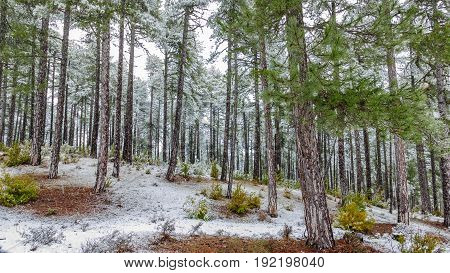 Wide angle view of pine tree forest snowing