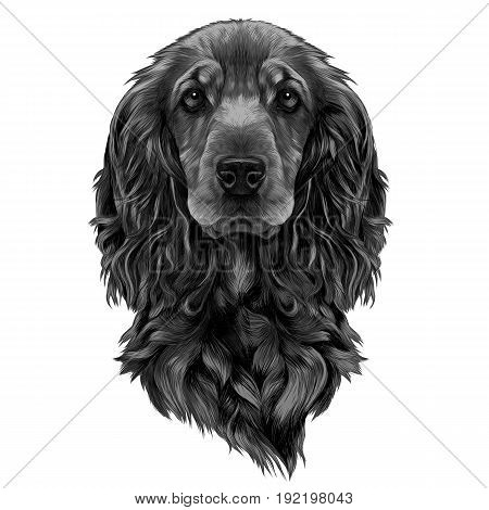 dog breed Cocker Spaniel muzzle sketch vector graphics color picture