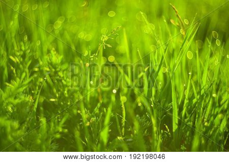 Vivid background of green grass and drops of morning dew