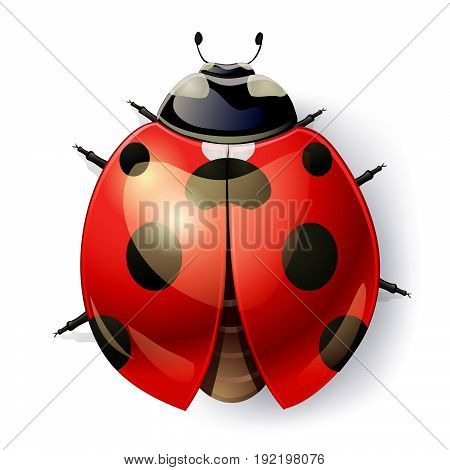 ladybug isolated on white. top view. vector illustration