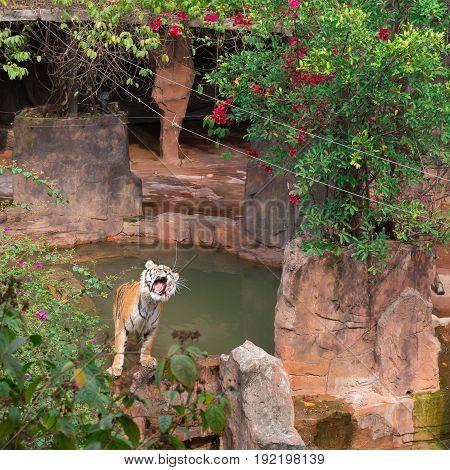 tiger in an enclosure roaring