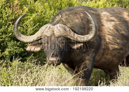 Young alert African buffalo walking through long grass in the hot sun