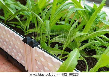 home grown vegetable on balcony horizontal composition