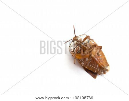 upside down bed bug on white background