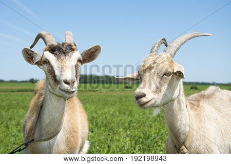 In summer a bright sunny day on the field two goats. Close-up.