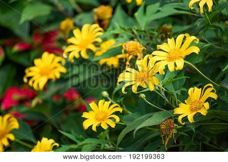 Mexican sunflower weed (Bua Tong) beautiful yellow flower in winter season of Thailand