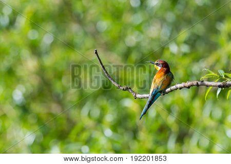 European Bee-eater Bird (merops Apiaster) Sitting On Branch In Sunshine