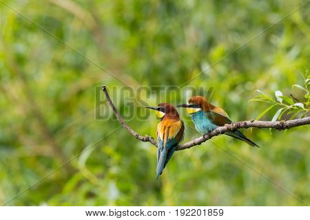 Two European Bee-eaters Birds  (merops Apiaster) Sitting On Branch In Forest