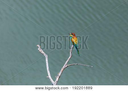 One European Bee-eater Bird (merops Apiaster) Sitting On Branch In Sunshine