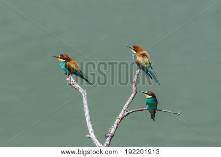 Three European Bee-eaters Birds (merops Apiaster) Sitting On Branch In Sunshine