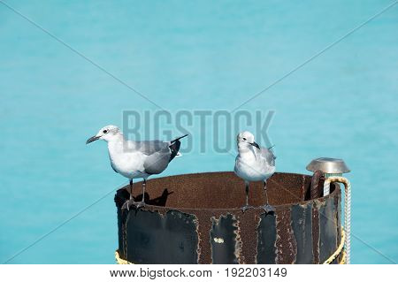 seagulls gulls or birds with grey and white feathers standing on old barrel or pipe with rusty metallized weathered surface texture on sunny day on blue sky background. Liberation and freedom