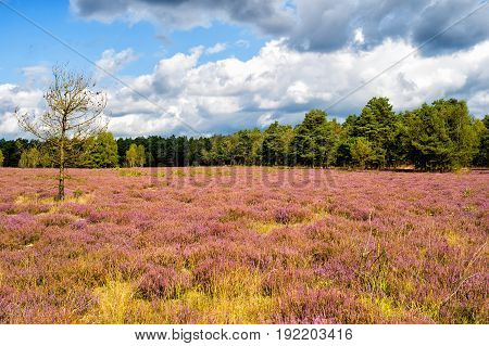 Heathland With Flowering Common Heather