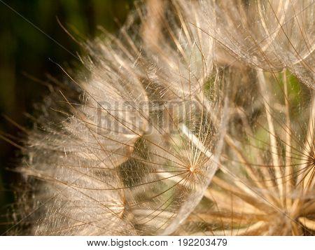 Macro Of Detail Of Dandelion Flower Heads