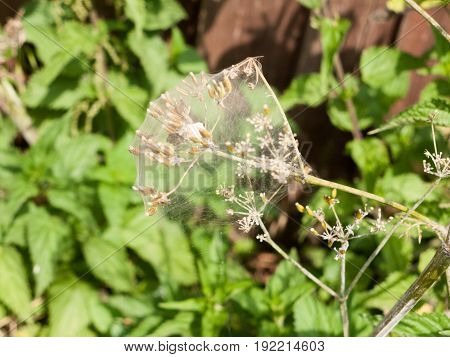 Wispy Spiders Web Covering A Flower Plant