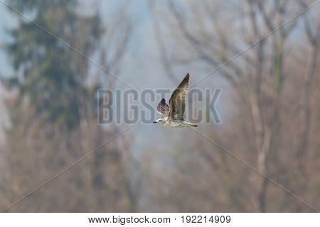 Young Yellow-legged Gull (larus Michahellis) In Flight