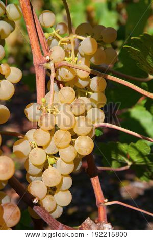 Ripe yellow grapes in the vineyard