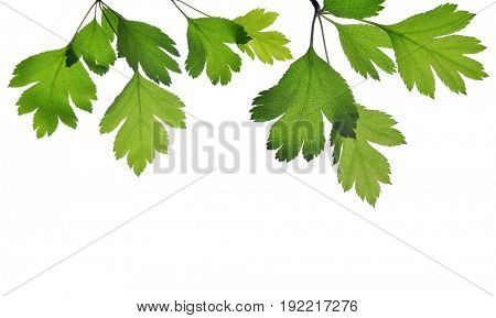 Hawthorn twig with green leaves isolated on a white background.