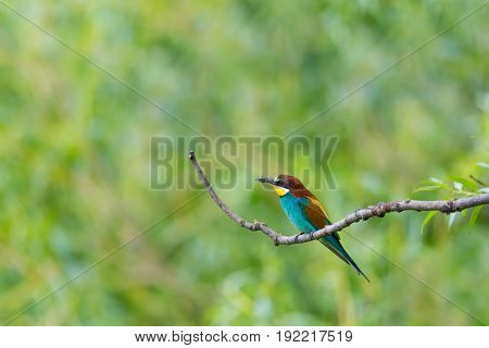 natural european bee-eater bird (merops apiaster) sitting on branch with insect in beak