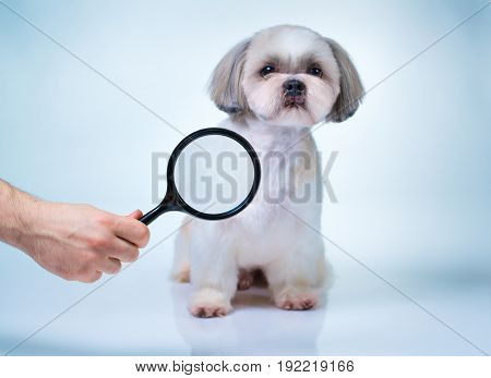 Shih tzu dog with magnifier. Searching concept. On bright white and blue background.