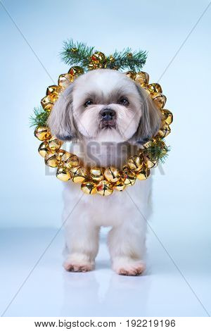 Shih tzu dog with new year bells wreath. On bright white and blue background.