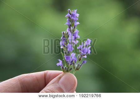 A blossom of lavender among the men's fingers, on a green background
