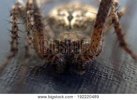 Spider on a dark blue background, macro