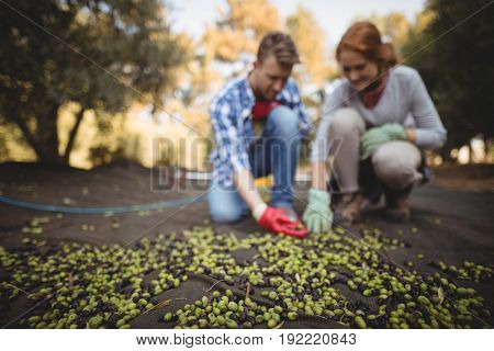 Young man and woman collecting olives at farm