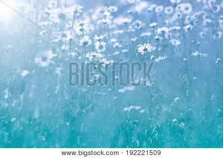 Gentle Daisy flowers on blue background. Beautiful summer photo with wildflowers. Selective focus