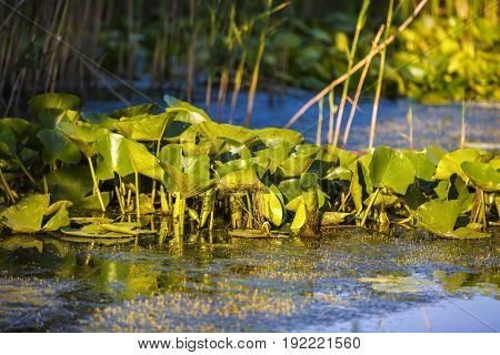 Beautiful Water Lilies In The Danube Delta
