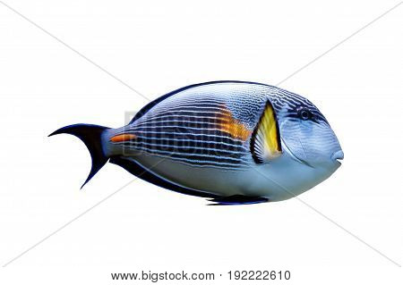 Parrot fish isolated. Tropical fish on white background