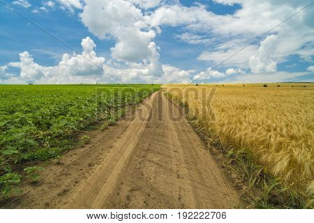 Road on an agricultural field separating two crops one green sunflower and one yellow wheat
