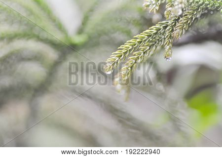 dew or dew drop on the pine leaf