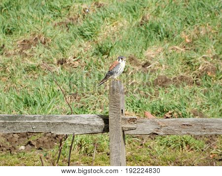 kestrel on fencepost with grass in background