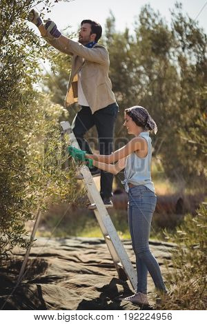 Full length of smiling young couple plucking olives at farm