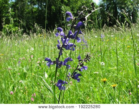 Meadow sage with flowers, Salvia pratensis, in spring