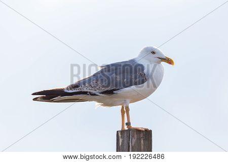 Ringed Gull (larus Michahellis) Standing On Post