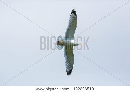 Isolated Yellow-legged Gull (larus Michahellis) In Flight