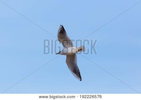 Natural Common Black-headed Gull (larus Ridibundus) Flying In Blue Sky