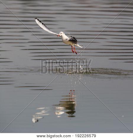 Natural Common Black-headed Gull (larus Ridibundus) Fishing In Flight